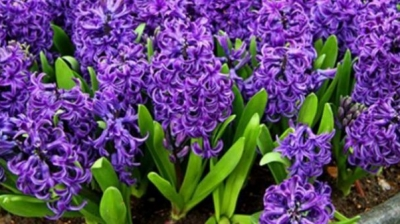Are Hyacinths Poisonous to Dogs