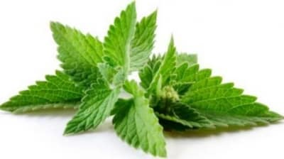 Can Dogs Eat Mint Leaves or Source? Are They Safe or Bad?