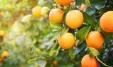 Can Bunnies Eat Oranges and Orange Peels