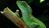 Chinese Water Dragon Lizard Size, Habitat, and Gender