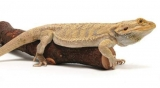 Can Bearded Dragons Eat Meat, Fish, Bread, Eggs, Ham…?