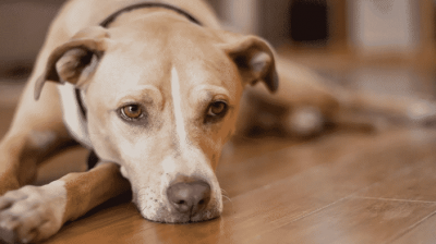High Sodium in Dogs (Hypernatremia) Causes and Symptoms
