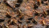 Raising Feeder Crickets for Use or Sale
