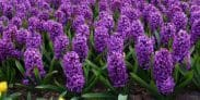 Are Hyacinths Poisonous to Cats