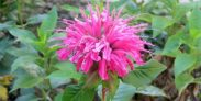 Is Bergamot Safe for Dogs and Cats?