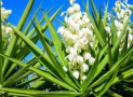 Is Yucca Poisonous to Cats