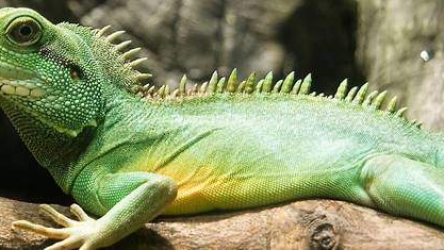 Pet Water Dragon Tank Size, Food and Care