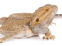 Inland or Central Bearded Dragon – Pogona vitticeps