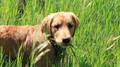 Why Do Dogs and Puppies Eat Grass? Is Grass Good or Bad?